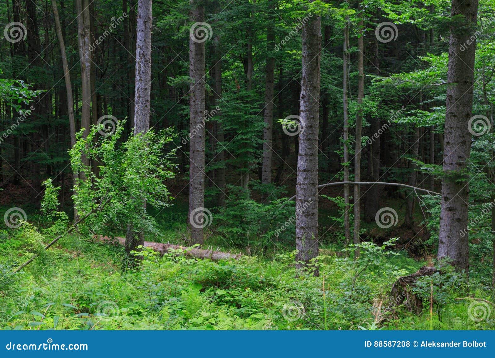 Naturalny mieszany stojak Bieszczady pasmo górskie