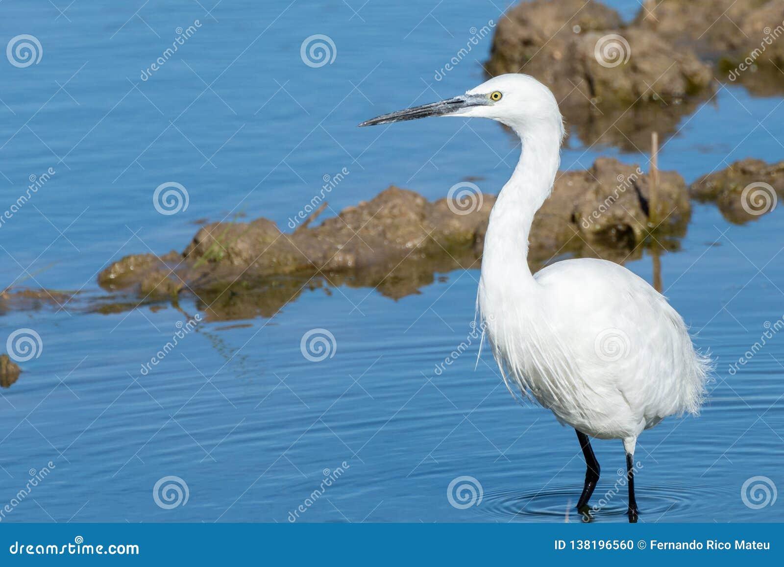 Naturalny portret bielu egret ardea alba przedpole w naturalnym parku Albufera, Walencja, Hiszpania, Europa