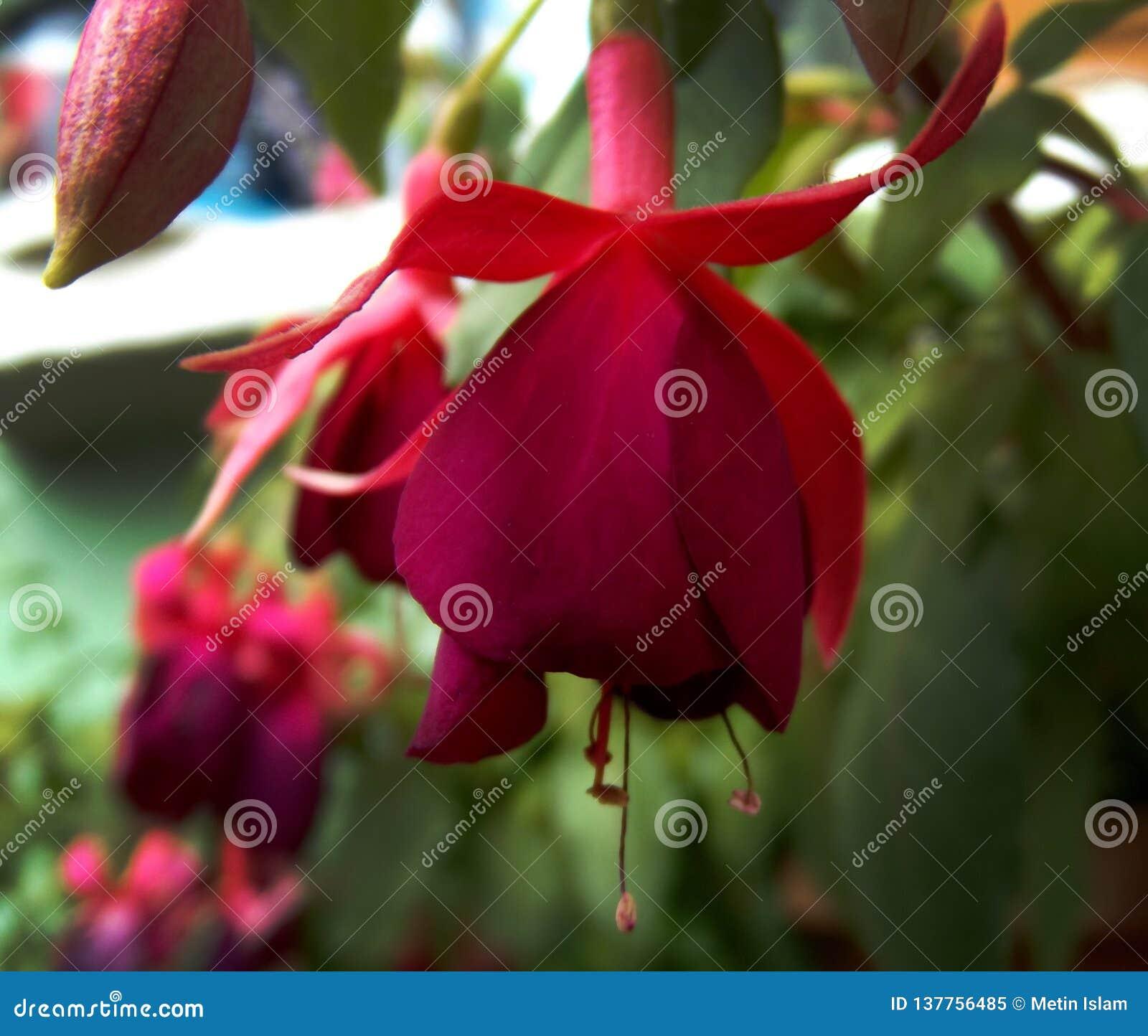 Naturalny purpurowy fuksja kolczyka kwiat