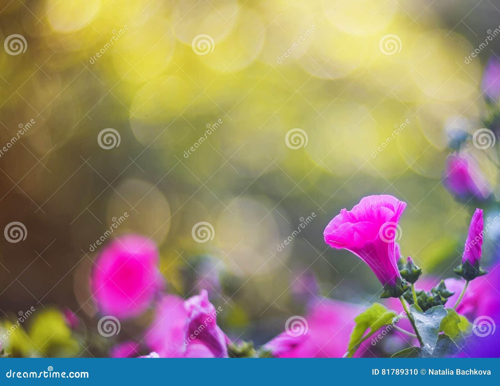 Naturalny tło fragrant menchia kwiaty, błyszczący deszcz i słońca świecenie,