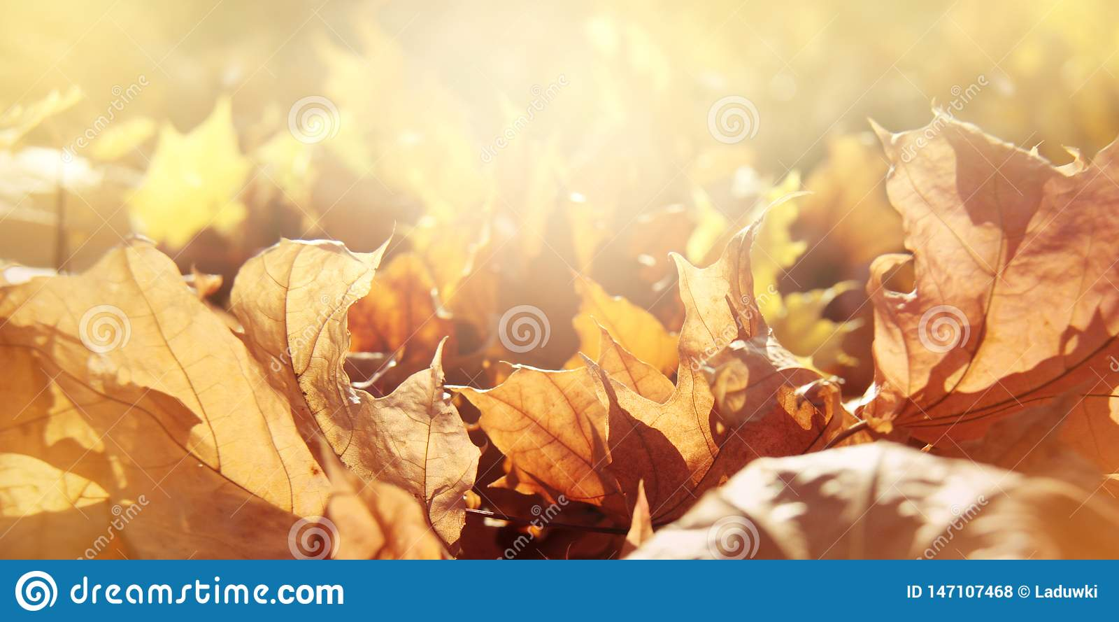 Nature autumn panoramic background with maple foliage