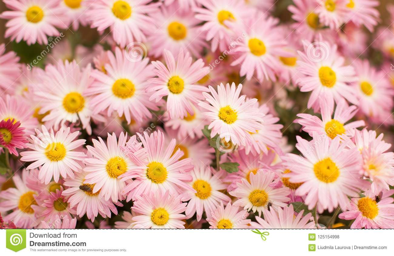Nature Autumn Pastel Background With Pink Chrysanthemum Flowers