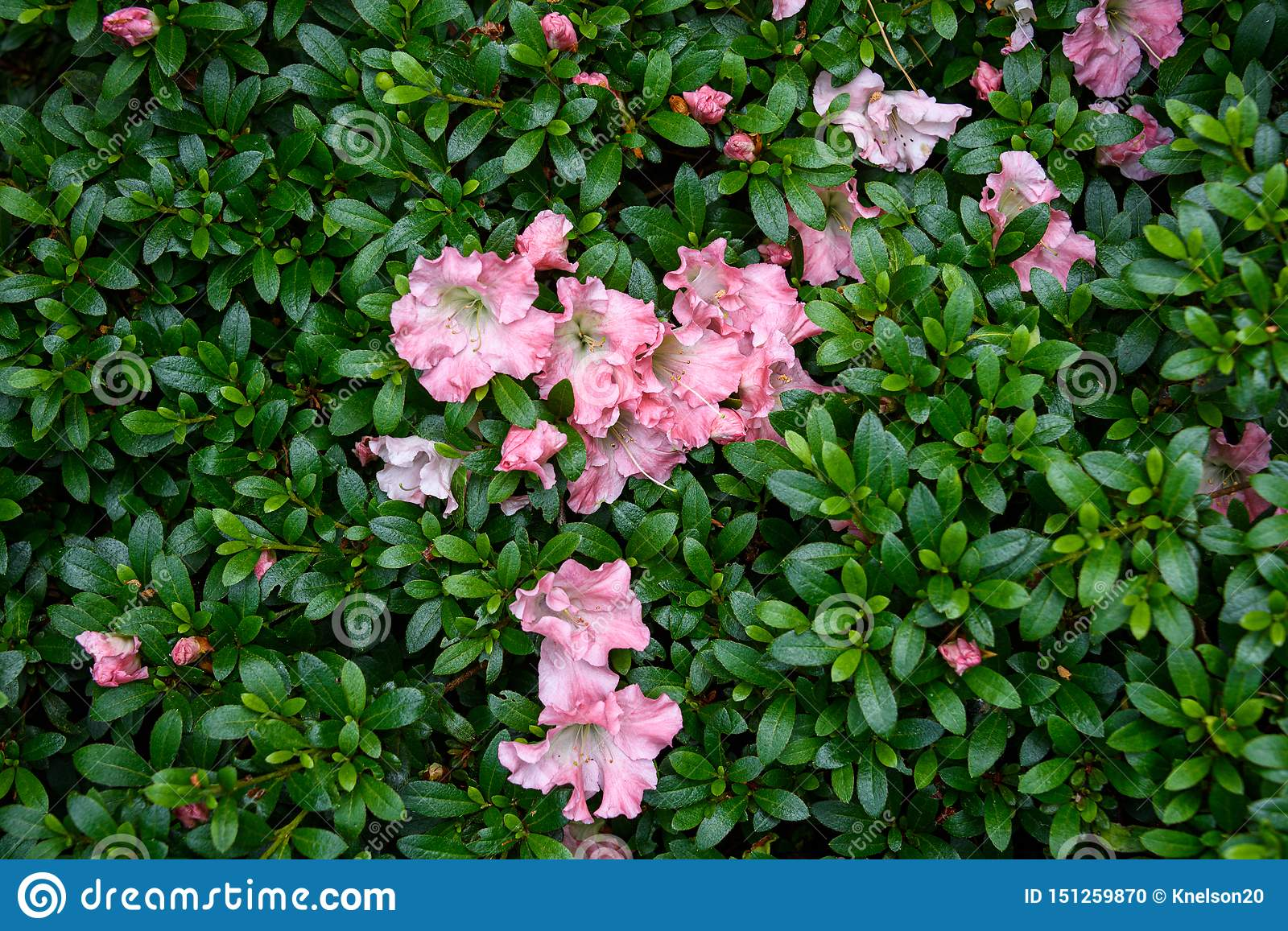 Nature Background Of Blooming Azalea Bush With Coral Colored Flowers Stock Photo Image Of Spring Green 151259870