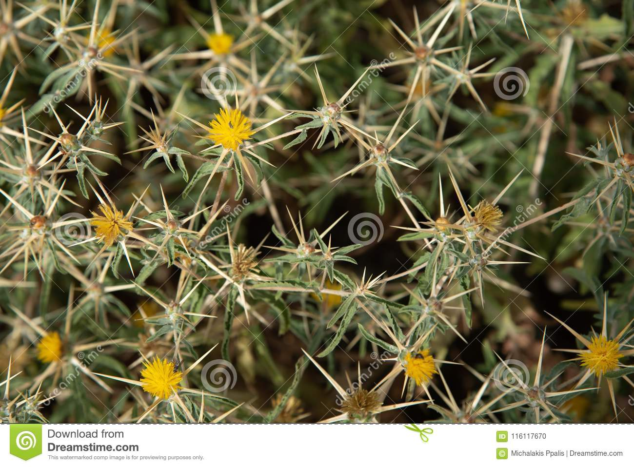 Nature Background From Thorn Plants With Yellow Flowers Stock Photo