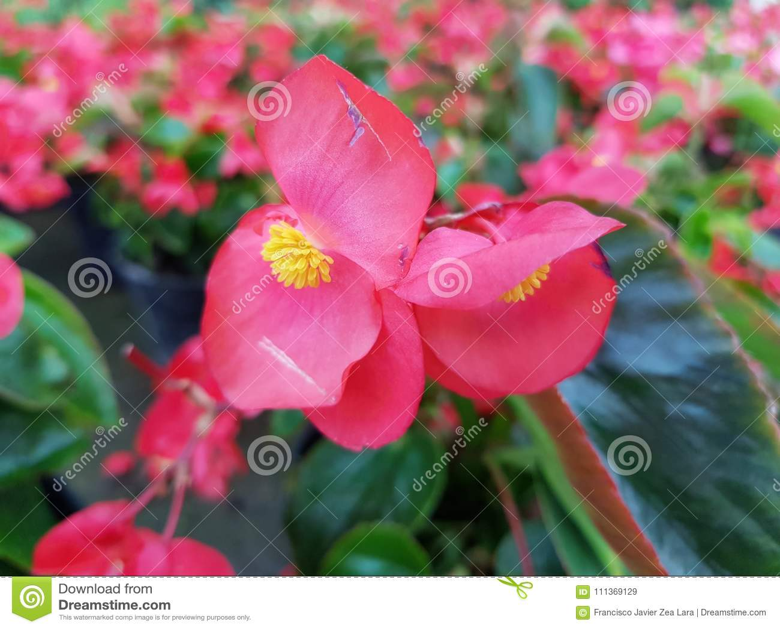 Red Begonia Dragon Flower In Garden Stock Image Image Of Flower