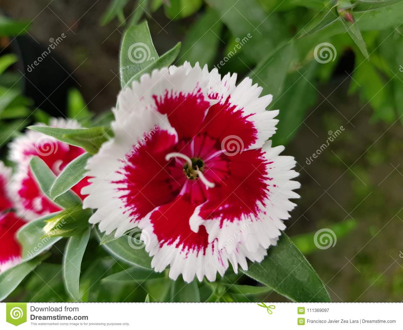 Red Carnation Flower With White Edge In A Garden Stock Image - Image ...