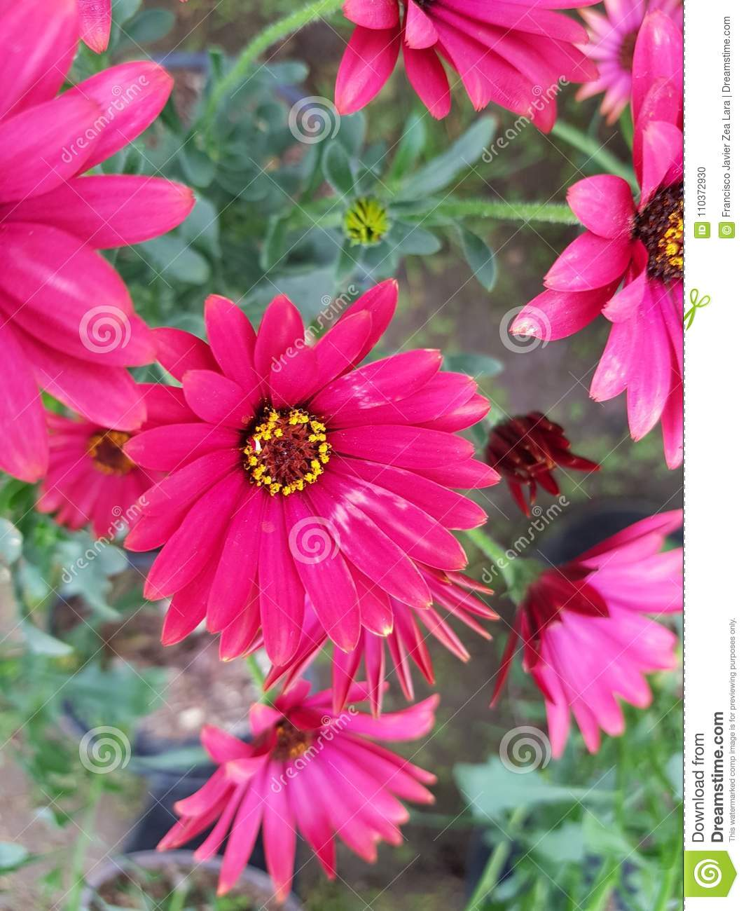 Red daisy flowers in garden stock photo image of colors botany red daisy flowers in garden izmirmasajfo