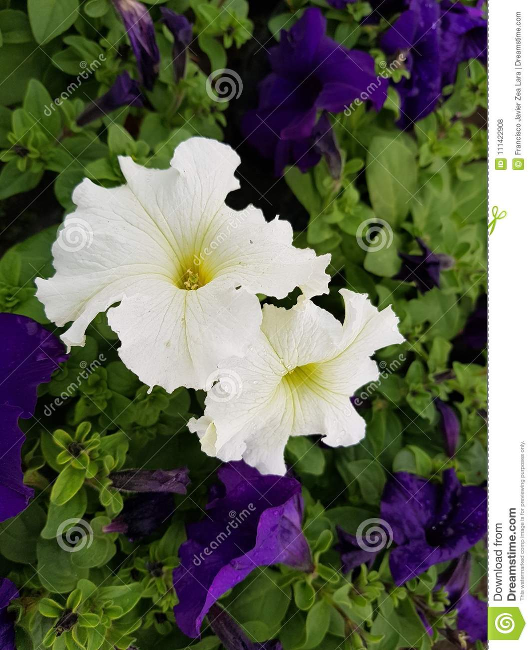 Two White Petunia Flowers In Garden Stock Photo Image Of Natural