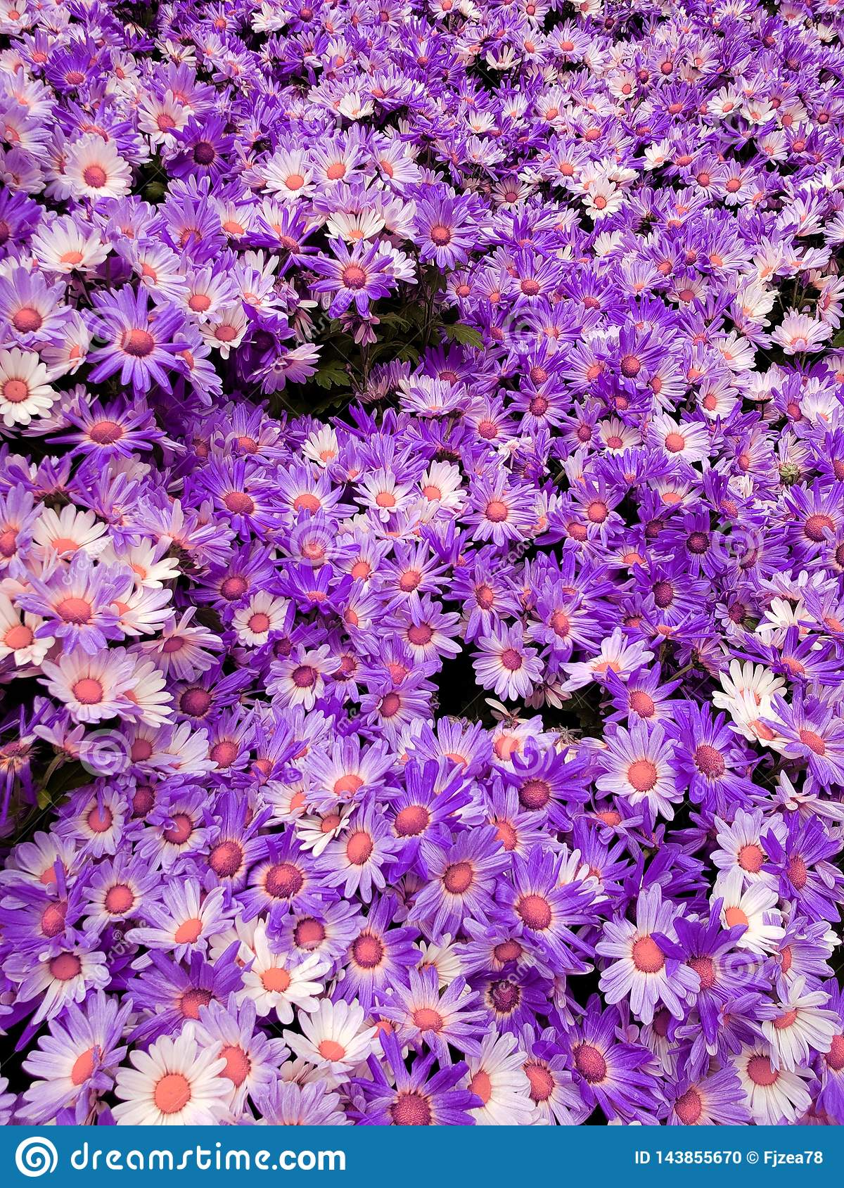 purple daisy flowers in a botanical garden, background and texture