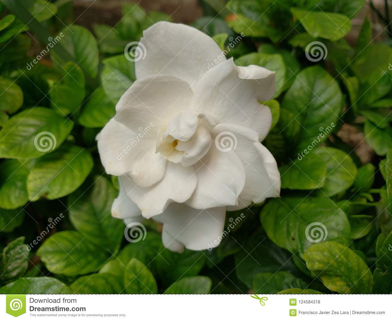 White Gardenia Flower In A Garden Stock Photo Image Of Nature