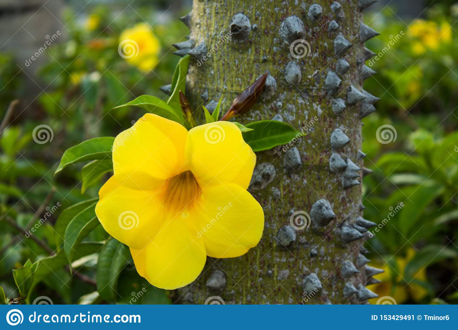 Yellow flower on a tree with thorns.