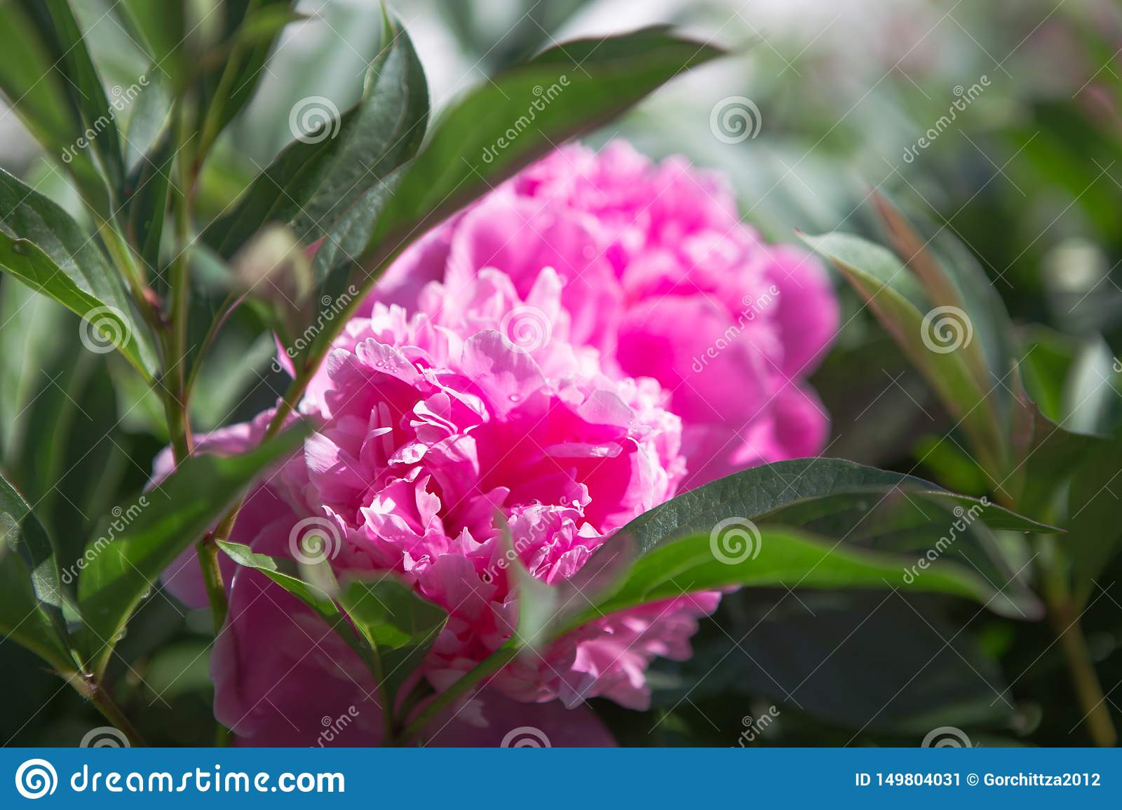 Nature concept - beautiful spring or summer landscape with Pink peony flower on green leaves background. Pink peonies in the garde