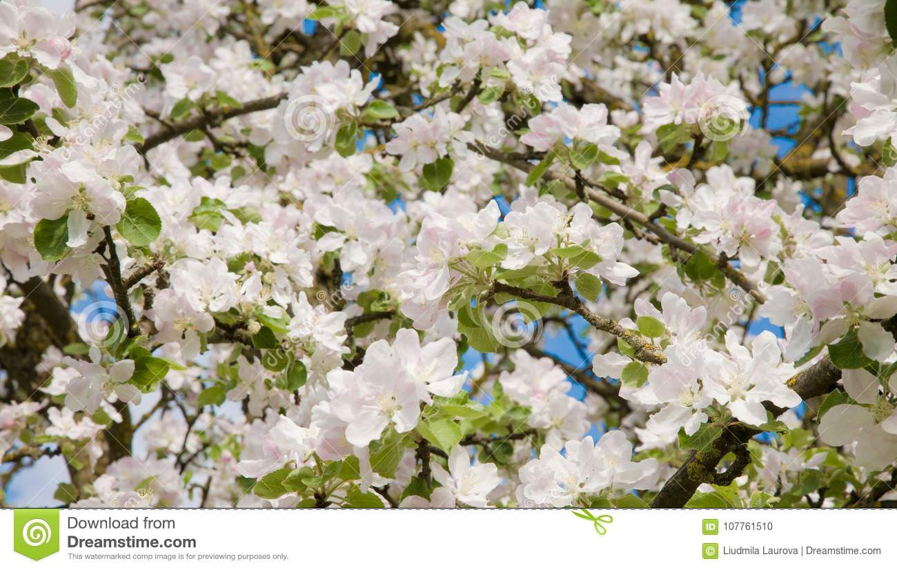 Nature Floral Background Of White Blooming Apple Tree