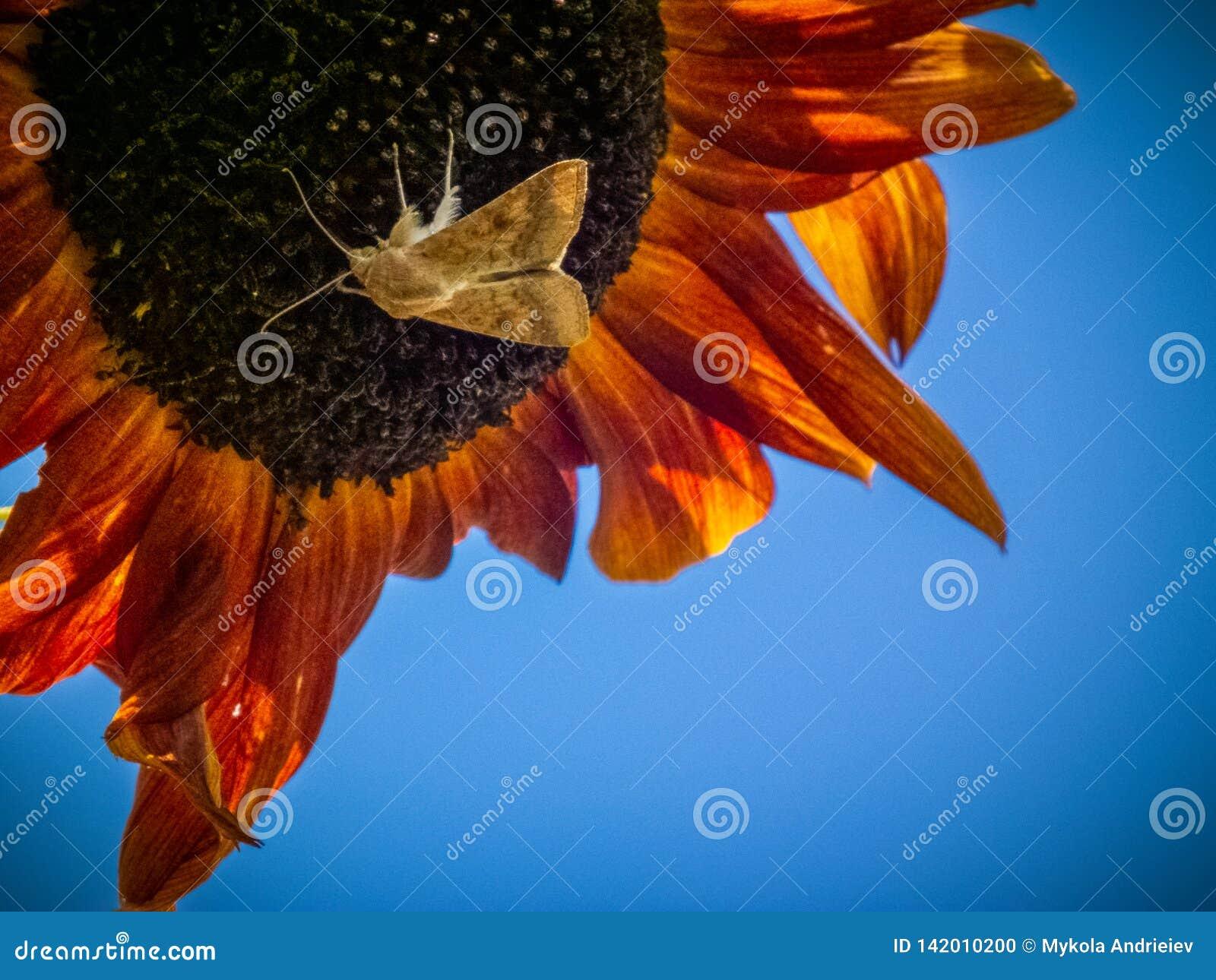 Nature, flore, faune, tournesol, papillon