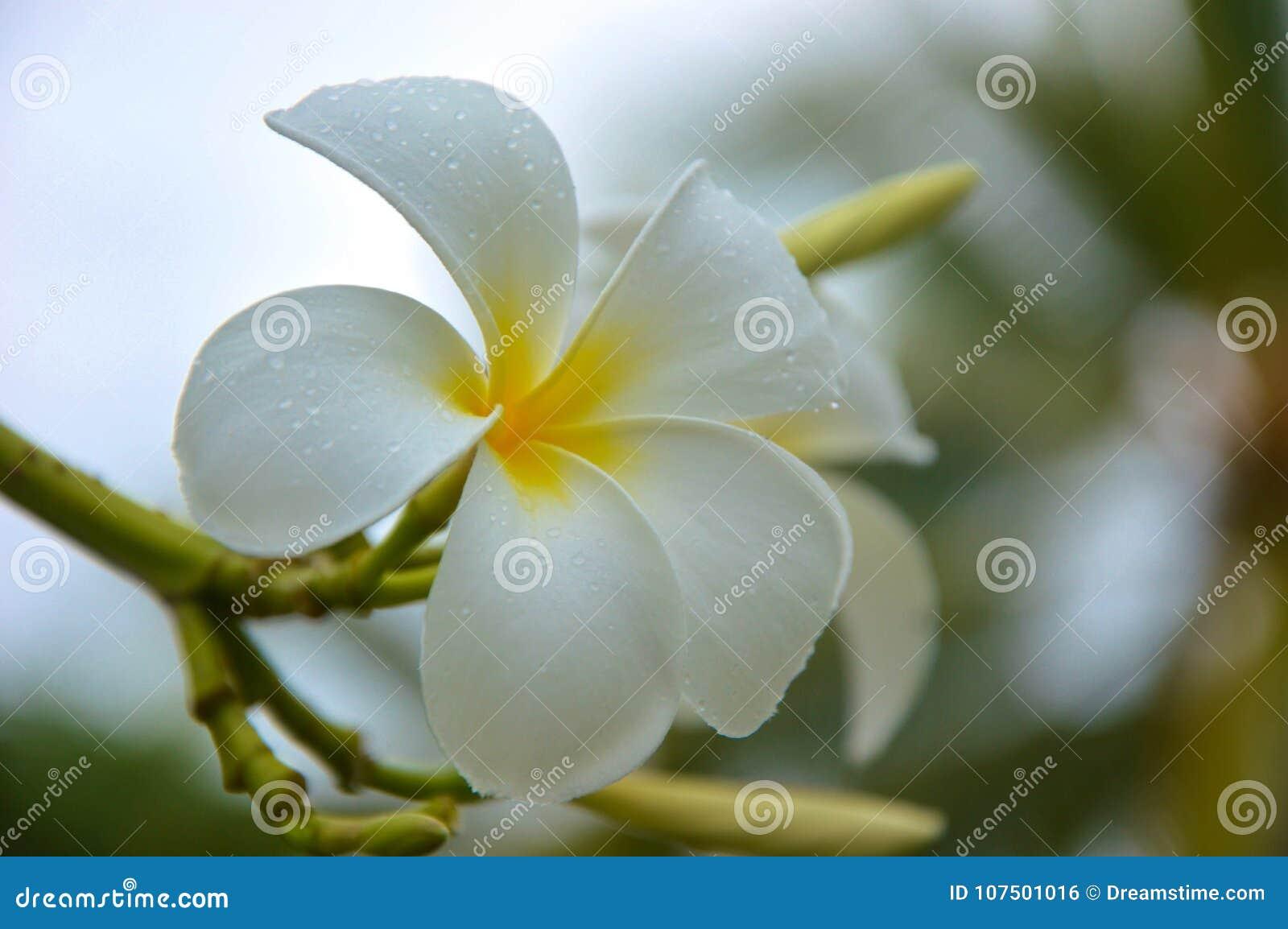Nature flower white beauty flora bloom tree freshness dew stock nature flower white beauty flora bloom tree freshness dew izmirmasajfo