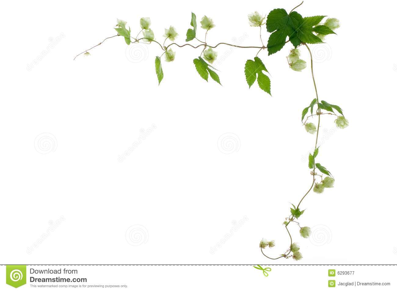 nature frame of green hop stock image image of brewery 6293677 dreamstime com
