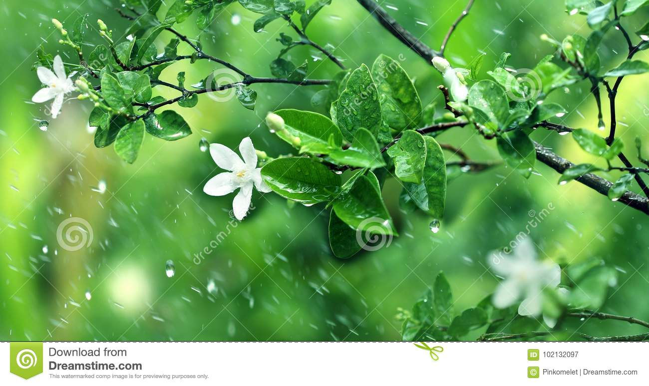 nature fresh green leaf branch under havy rain in rainy season stock