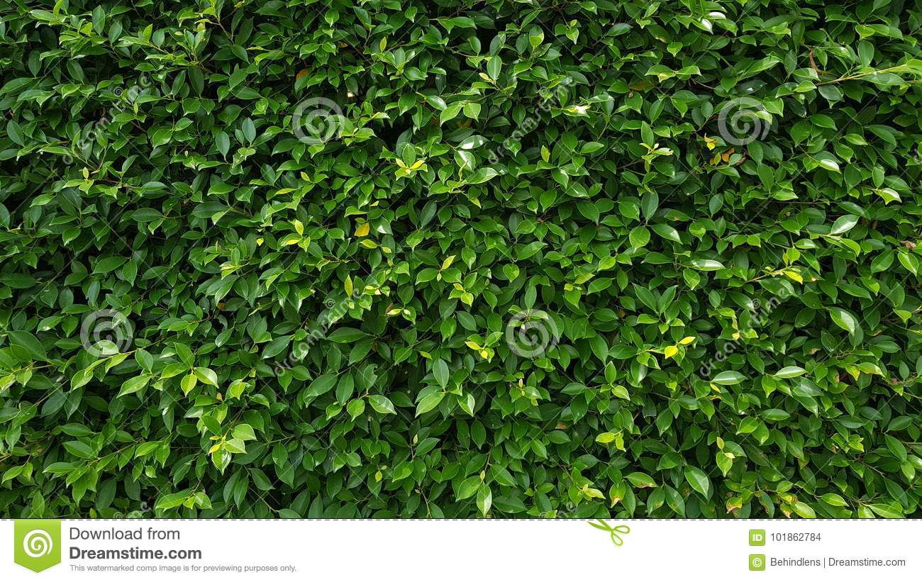 Nature Green Leaf Wall Texture Stock Photo Image Of Fence Flower