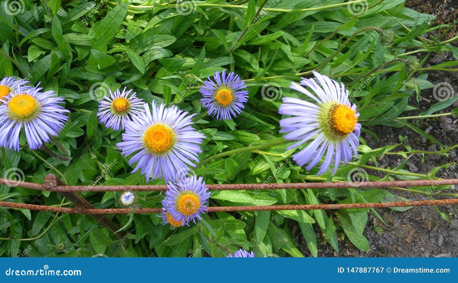Nature pourpre de l Europe de marguerite de fleur