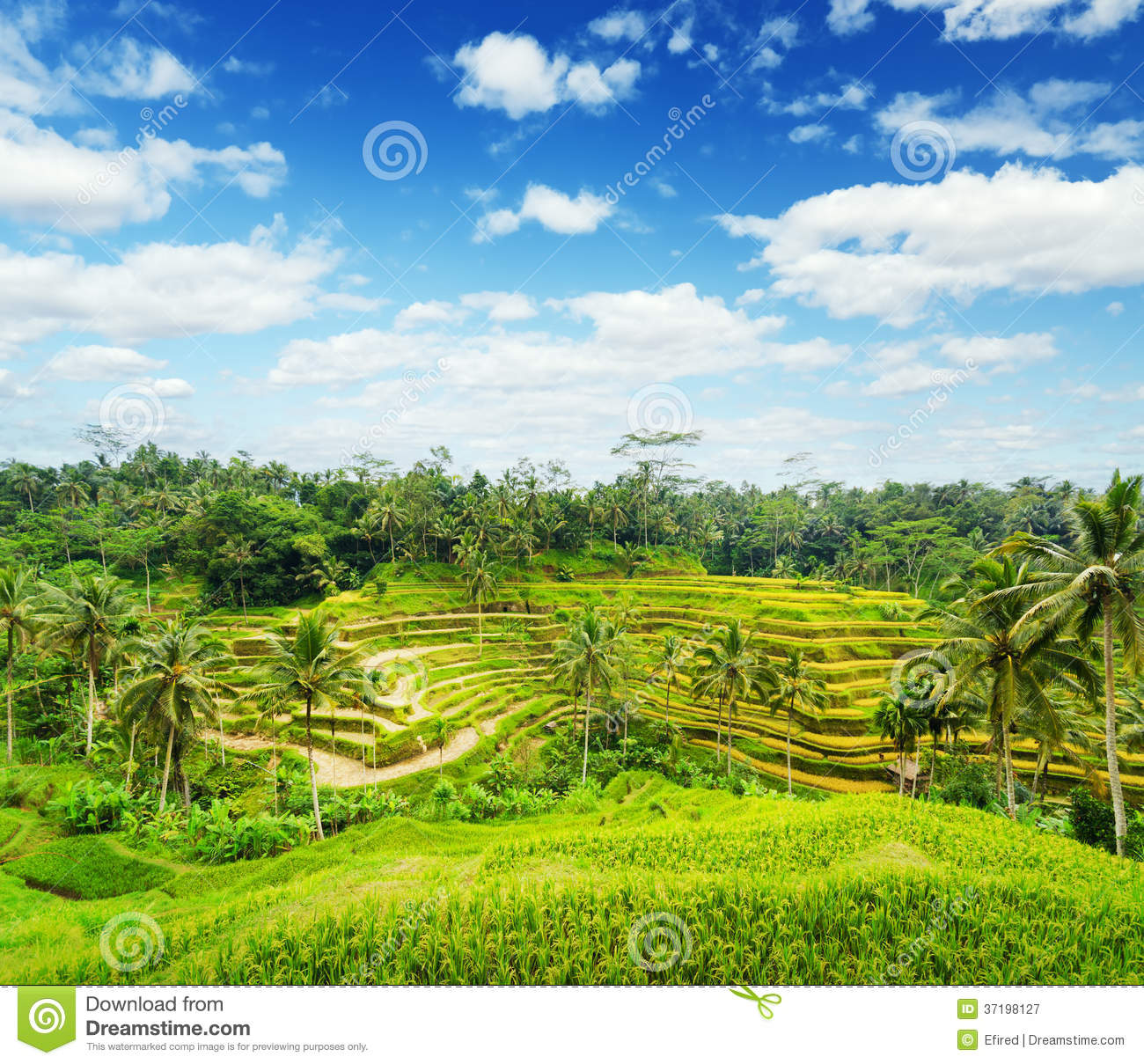 Rice terrace of bali island royalty free stock photography for Terrace nature