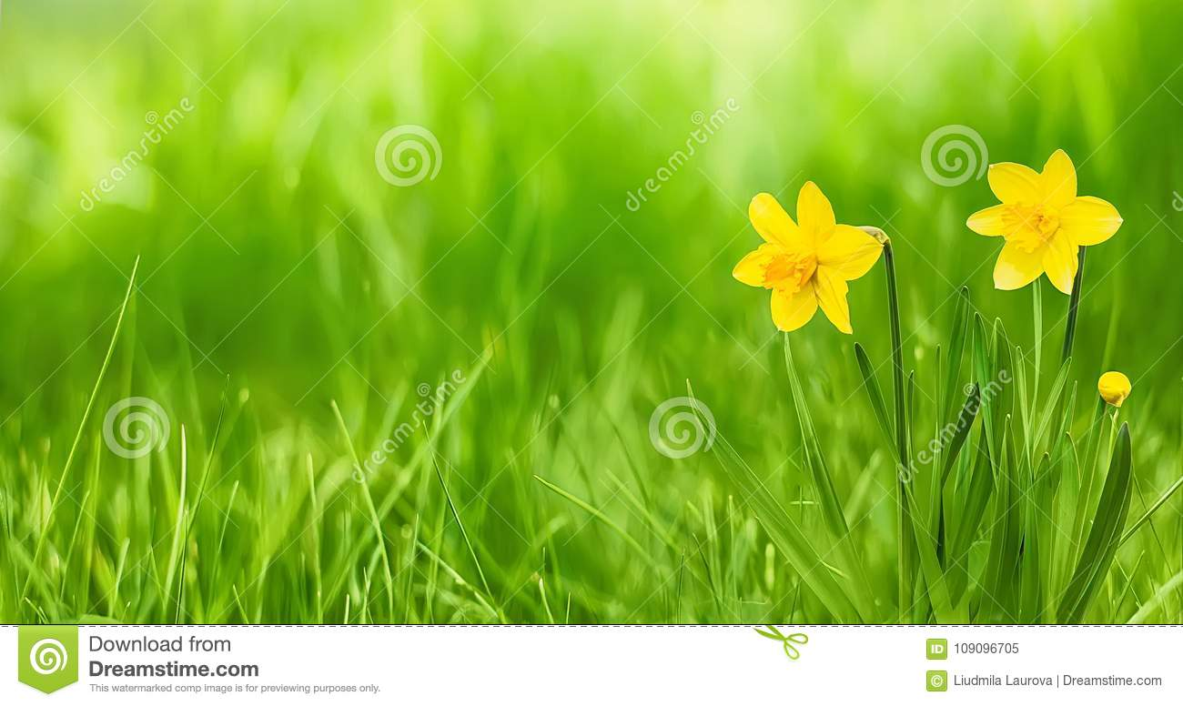 nature rustic spring wallpaper with yellow flowers daffodils stock