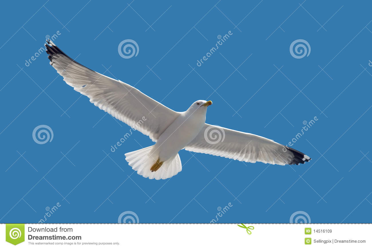 Nature - Seagull during flight in the sky