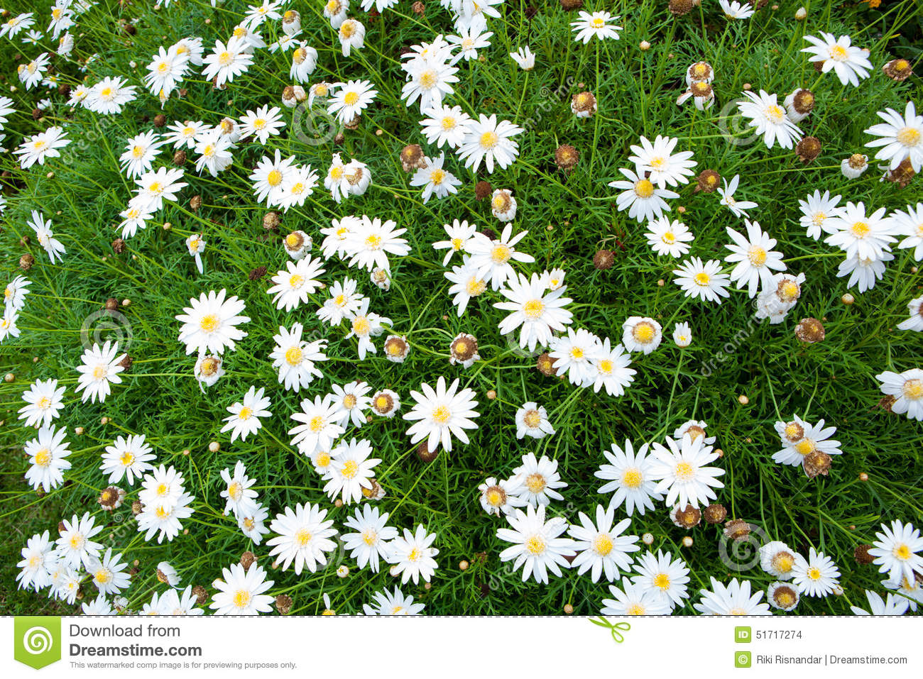 Nature Small White Flowers For Background Stock Photo Image Of