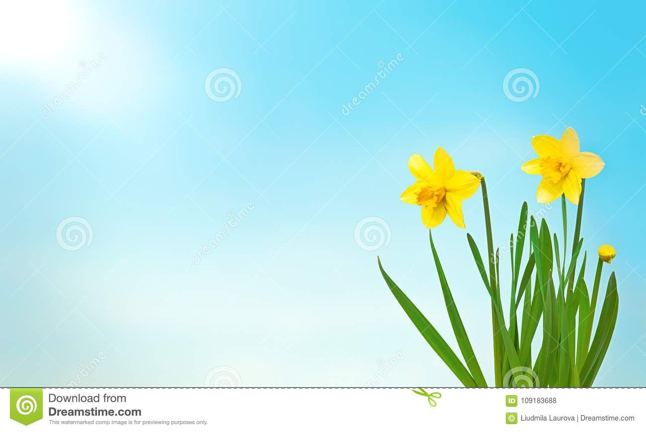 Nature spring background with yellow flowers daffodils stock photo nature spring background with yellow flowers daffodils mightylinksfo