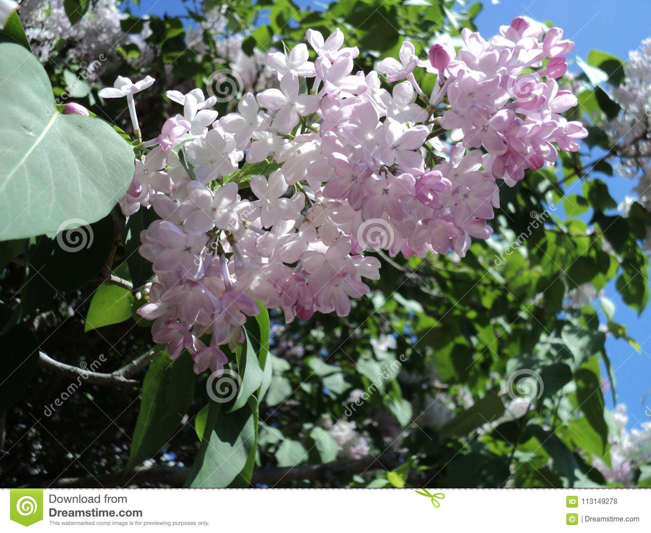 Spring Flowering Lilac Bushes In The Botanical Garden Stock Photo