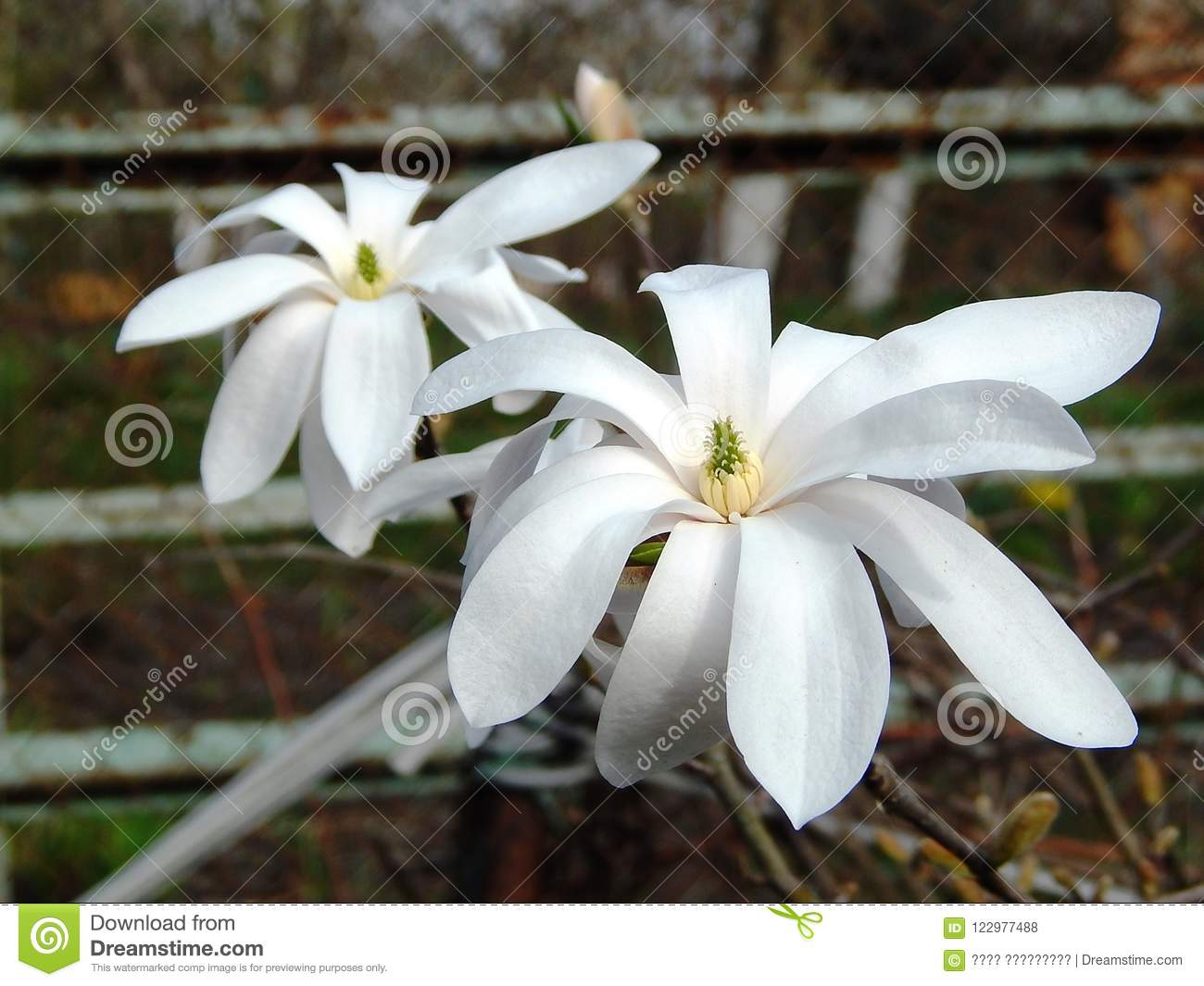 Beautiful Flowers Magnolia Plants With White Petals Stock Photo