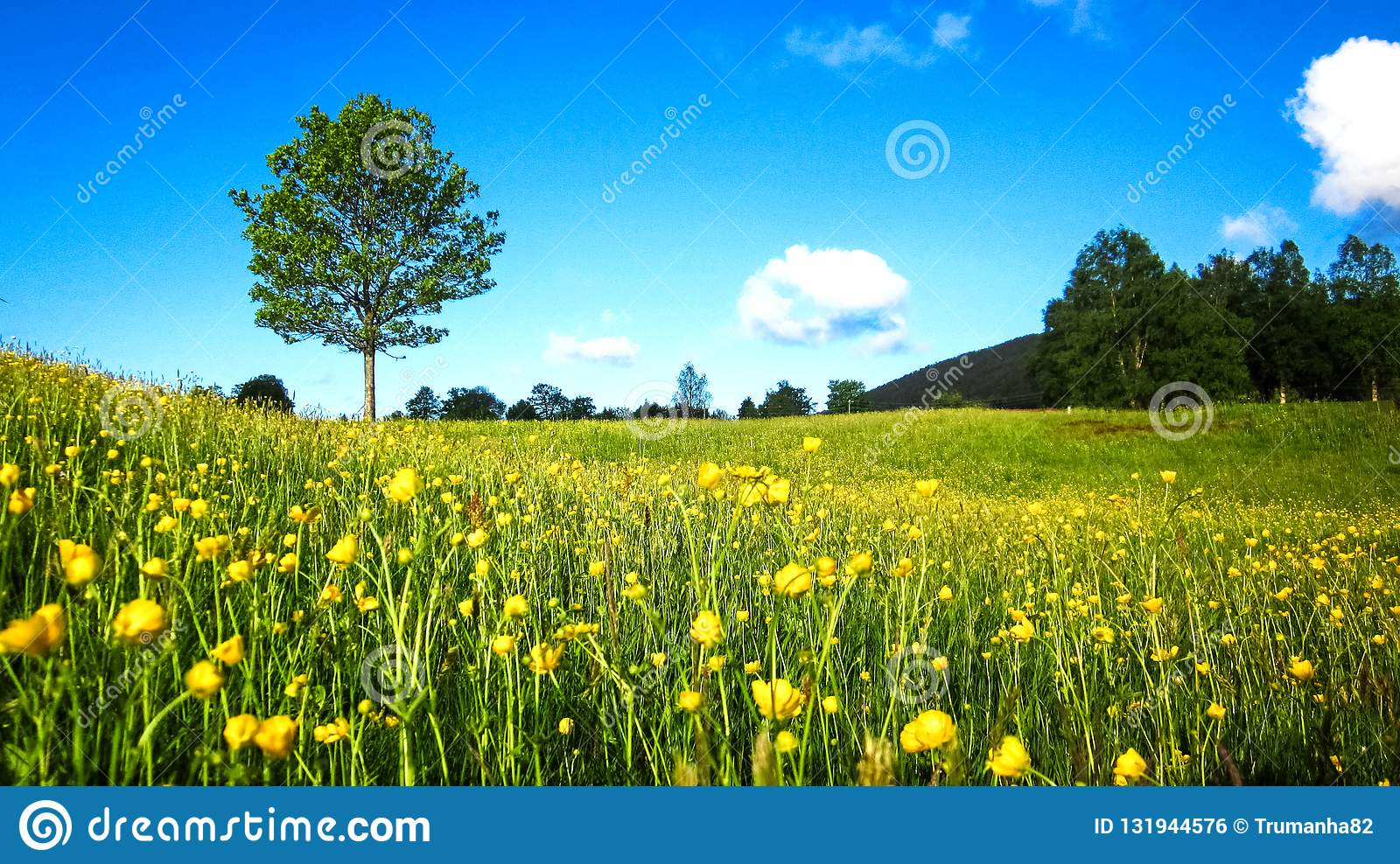 Nature Spring Landscape with A Field of Wild Yellow Buttercups, A Lone Tree and Scattered White Clouds in The Blue Sky