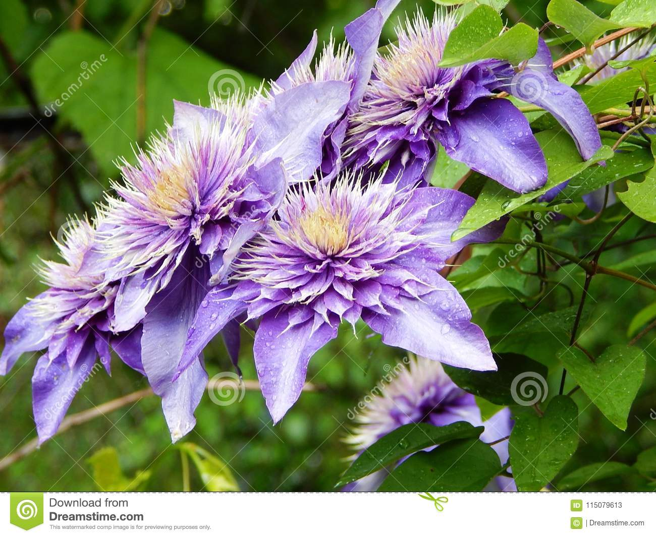 Garden Of Climbing Plants Blooming Clematis Stock Image Image Of