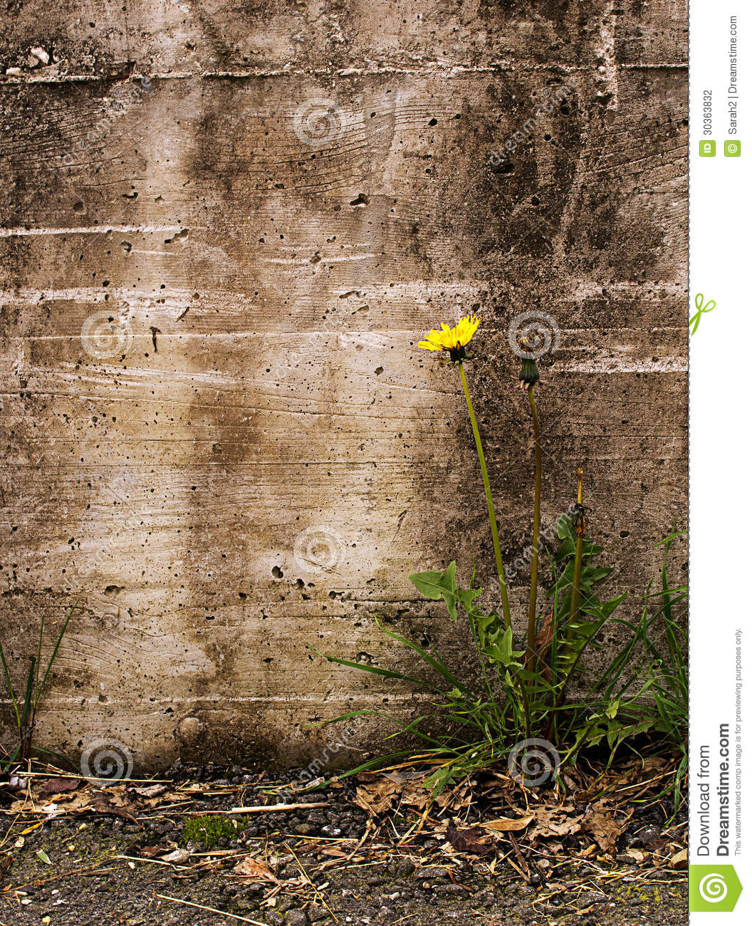 Nature triumphs over adversity dandelion by old stock for Urban nature
