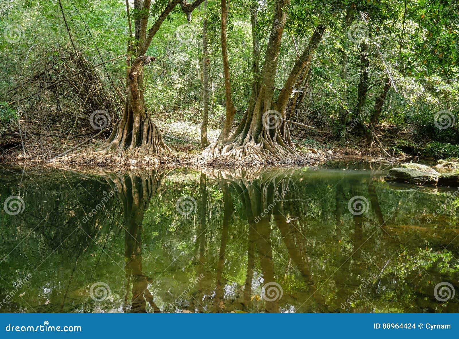 Nature verte paisible avec la réflexion tranquille d étang et de banians dans l eau