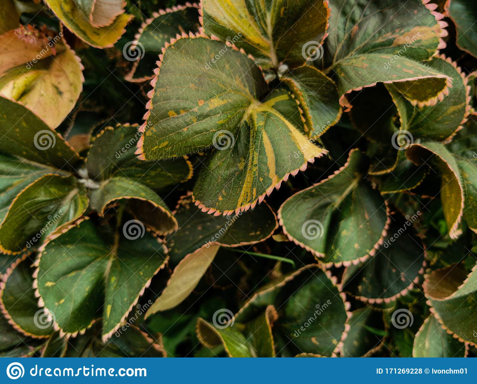 Nature View Of Acalypha Wilkesiana Plants With Common Names Copperleaf And Jacob S Coat Tropical Leaves Landscape For Stock Photo Image Of Detail Foliage 171269228 Tropical landscape design makes miami pop! https www dreamstime com nature view acalypha wilkesiana plants common names copperleaf jacob s coat tropical leaves landscape image171269228