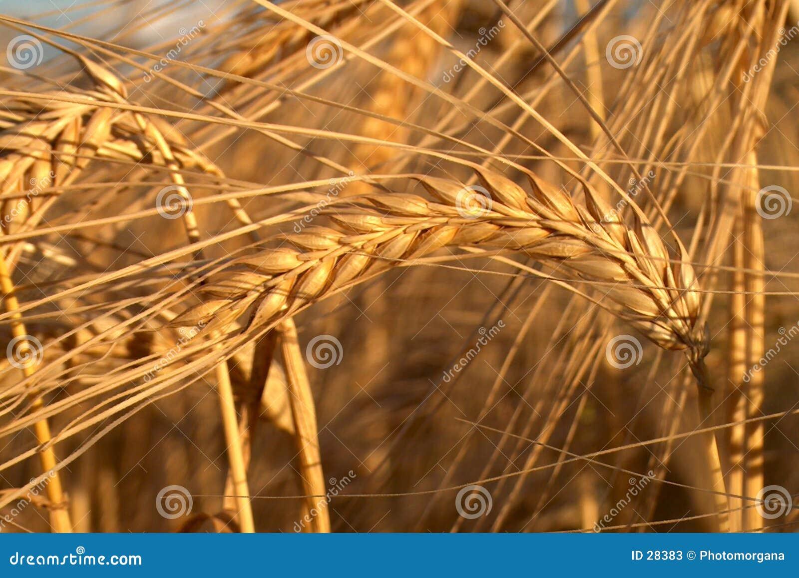 Naturer för guld ii
