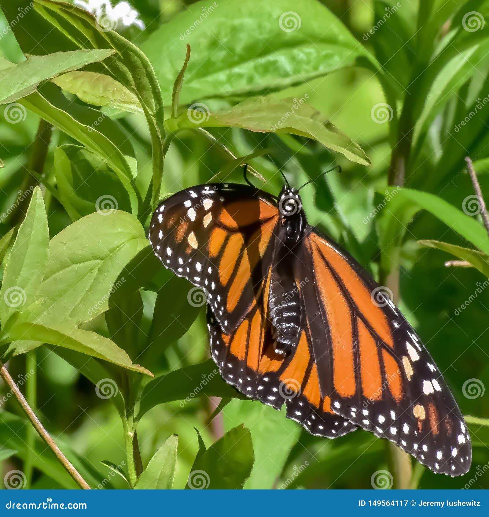 Natures Beautiful Monarch
