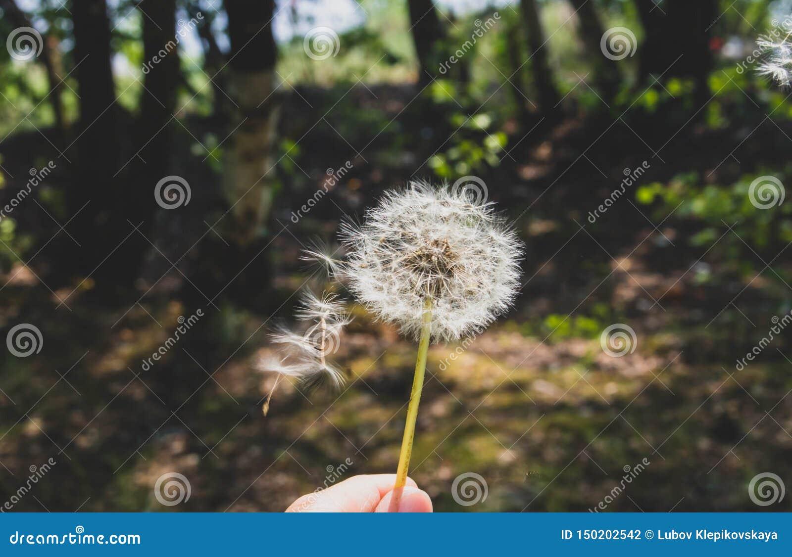 Natureza da flor do fundo do sammer do dente-de-leão