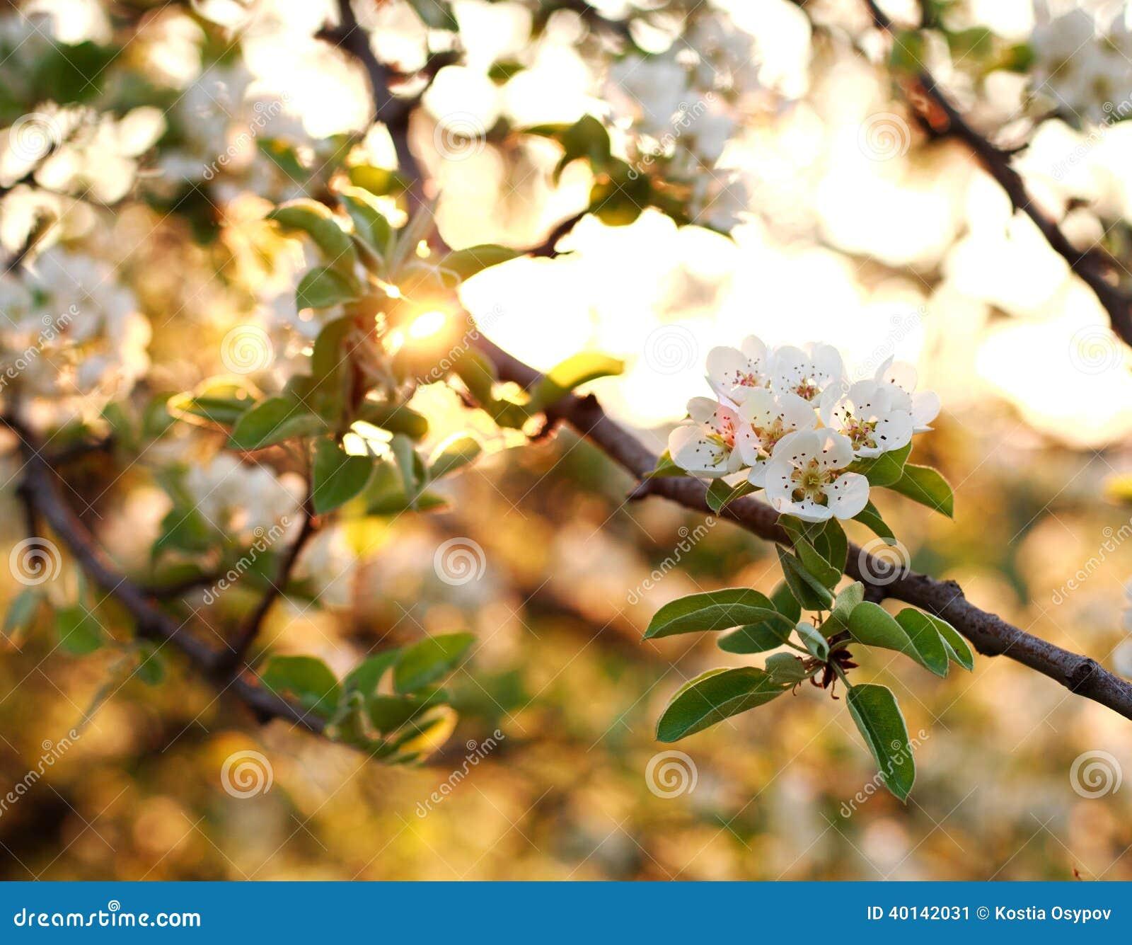 Naturhintergrund, Bäume des blühenden Gartens im Sonnenuntergang beleuchten