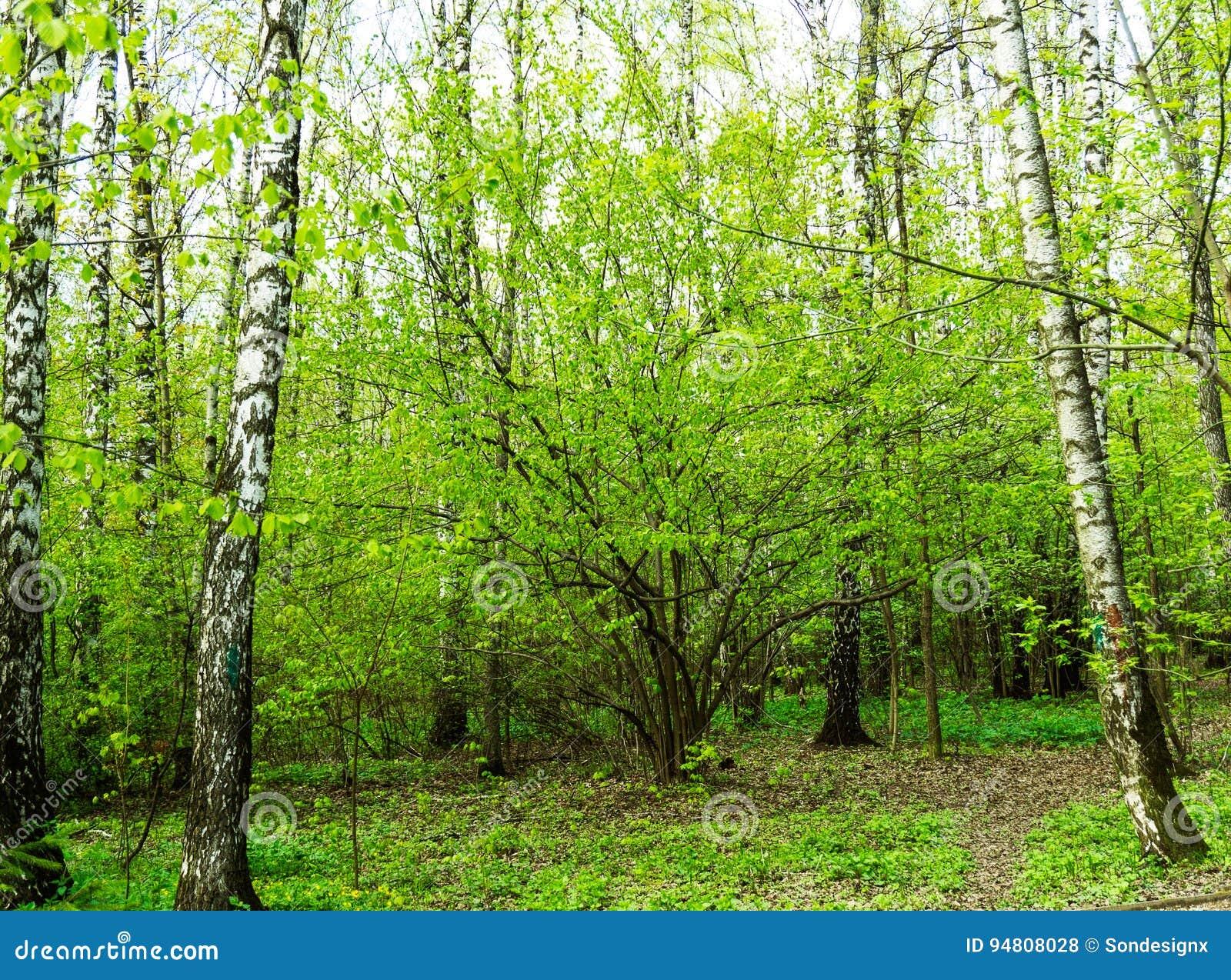 Naturlandskapsikt av en grön skogdjungel på vårsäsong med gröna träd och sidor Fridsamt stillsamt utomhus- landskap
