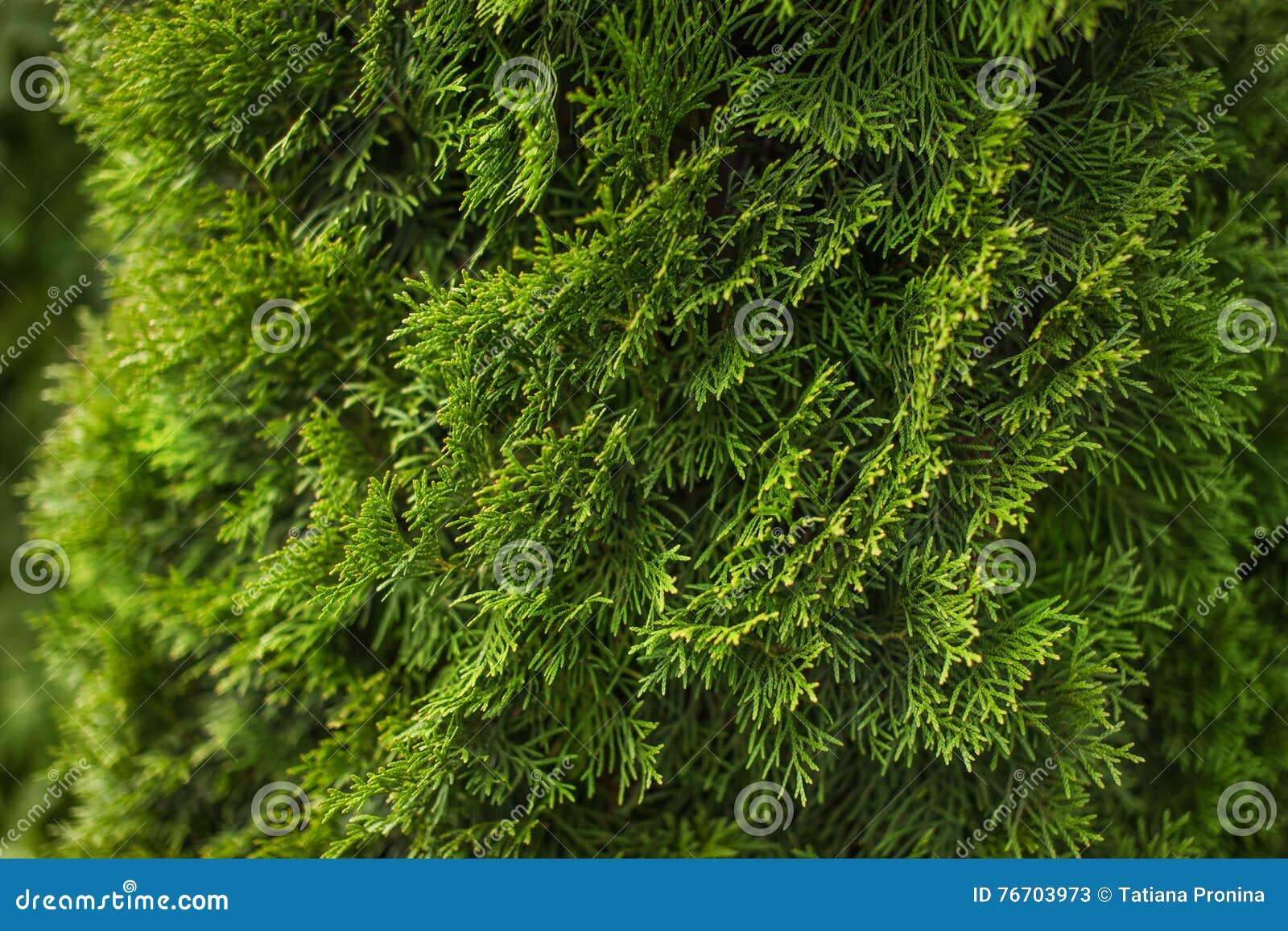 Naturlig grön barrträds- bakgrund