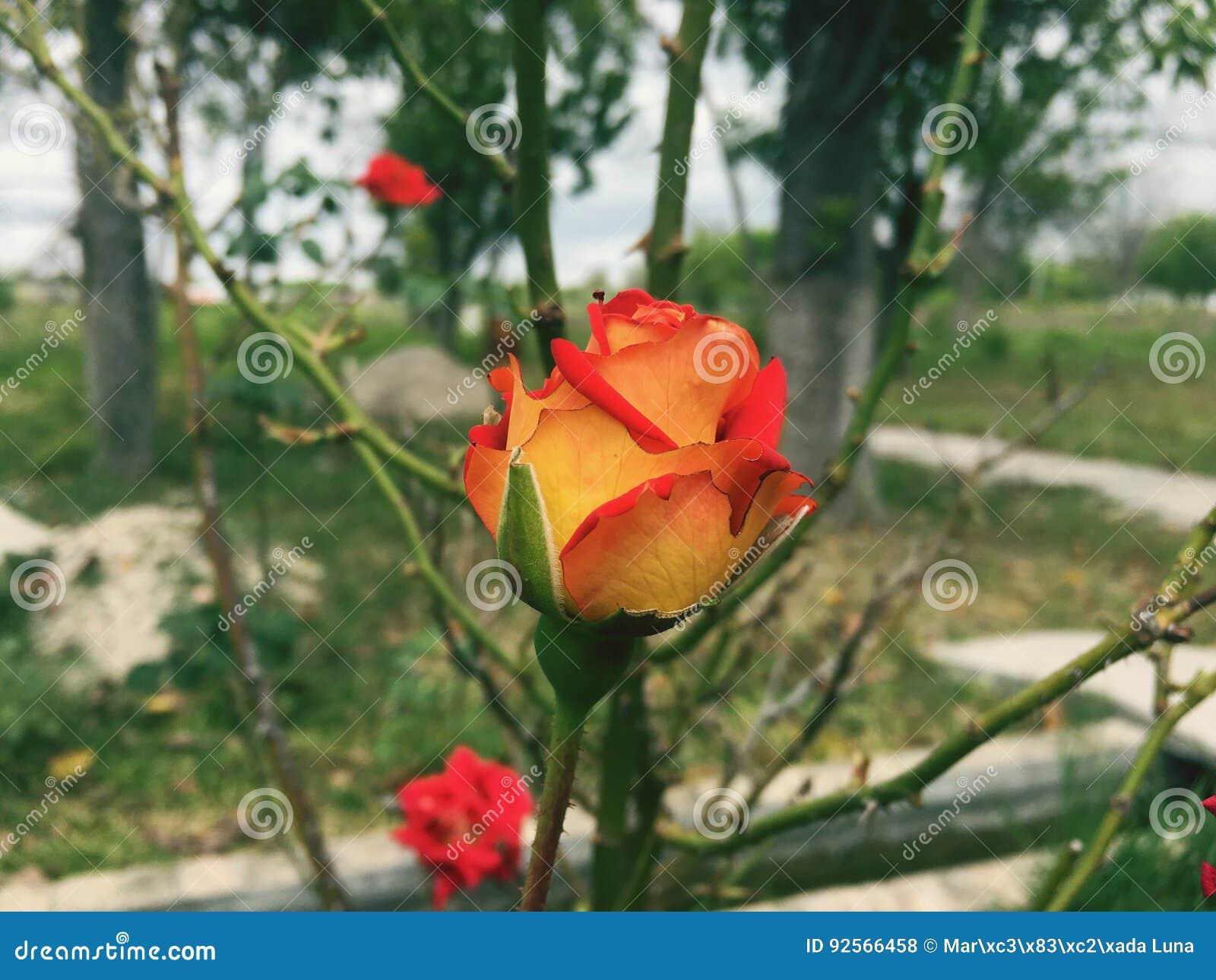 Naturlig grön blomma för dagros