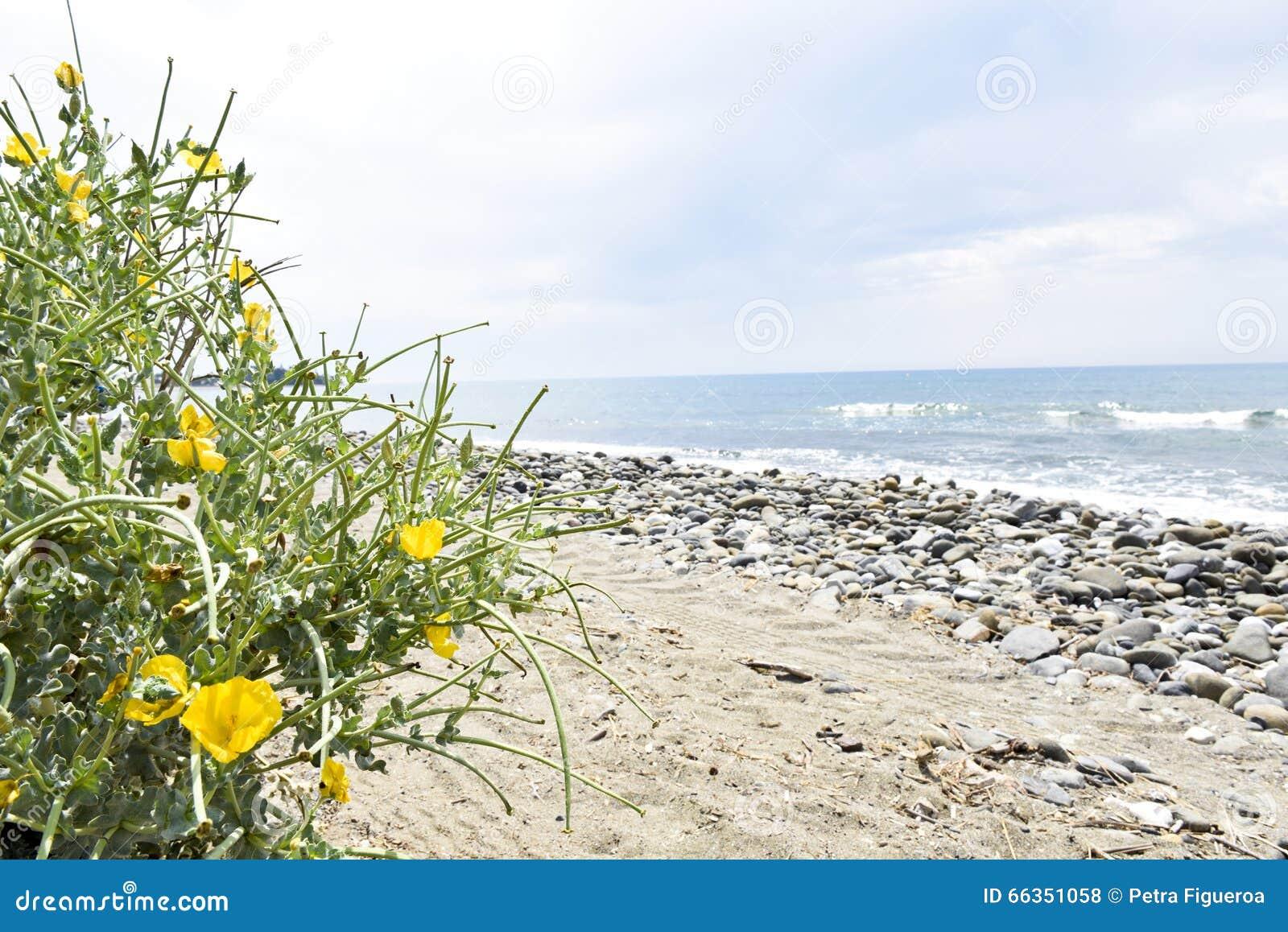 Naturlig strand med gula blommor, Estepona, Andalusia, Spanien