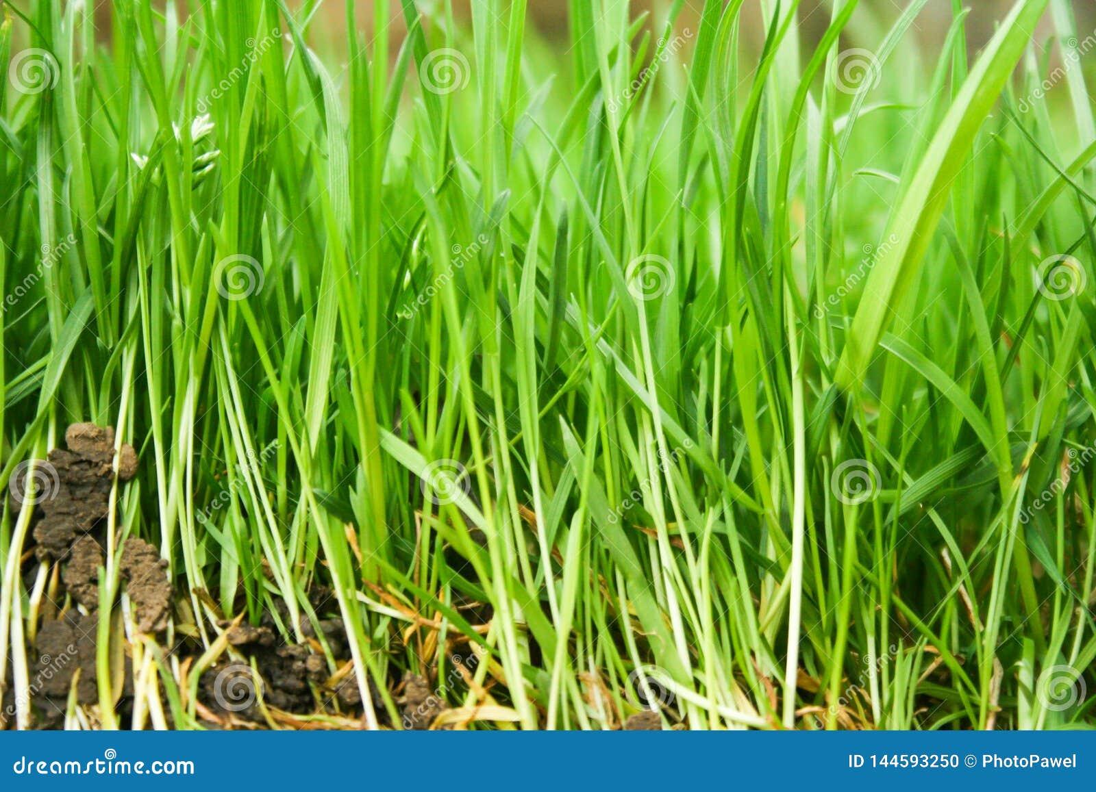 Naturliga bakgrunder med grönt gräs