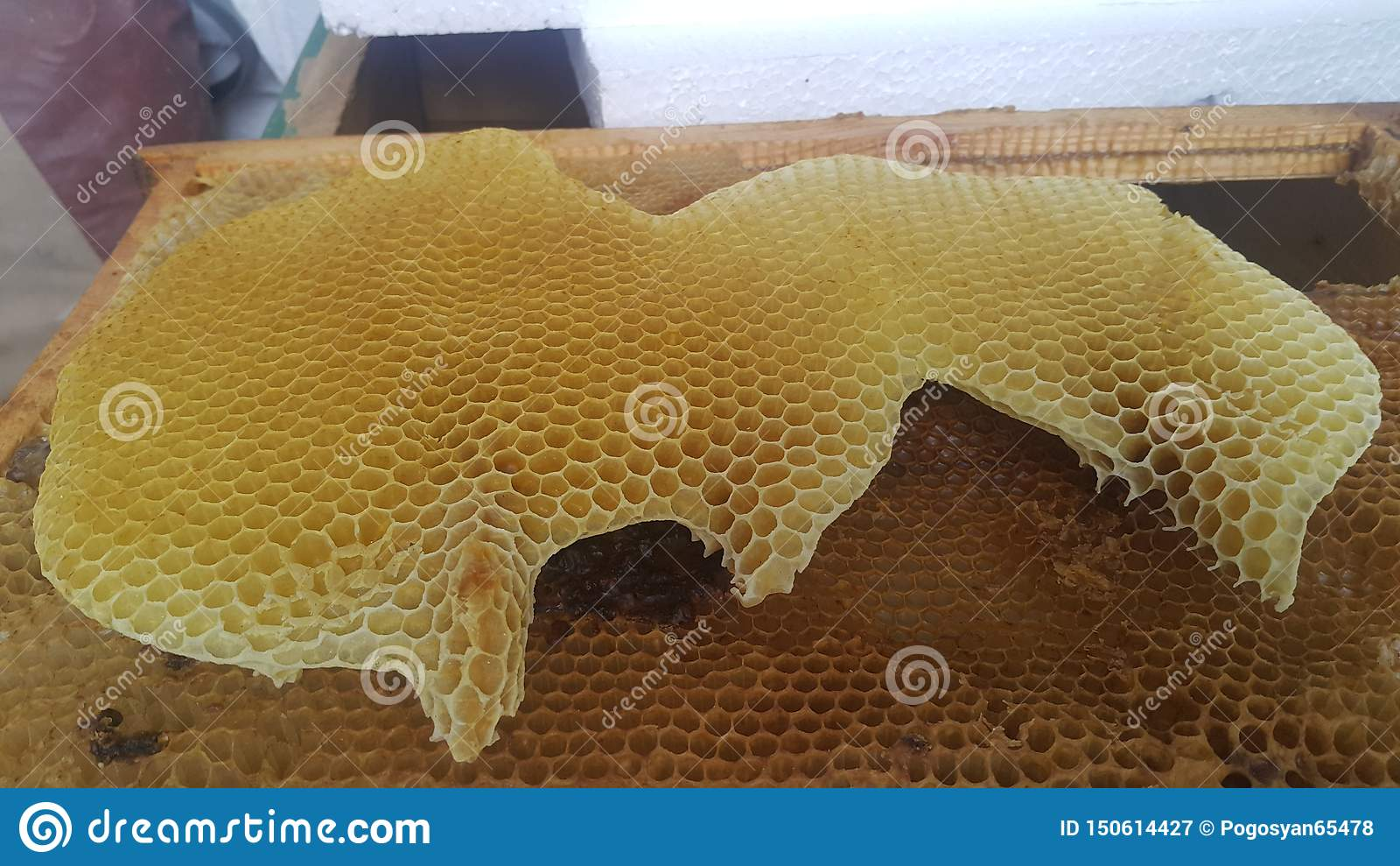 Naturligt guld- honungskakabi som är fullvuxet vid bin