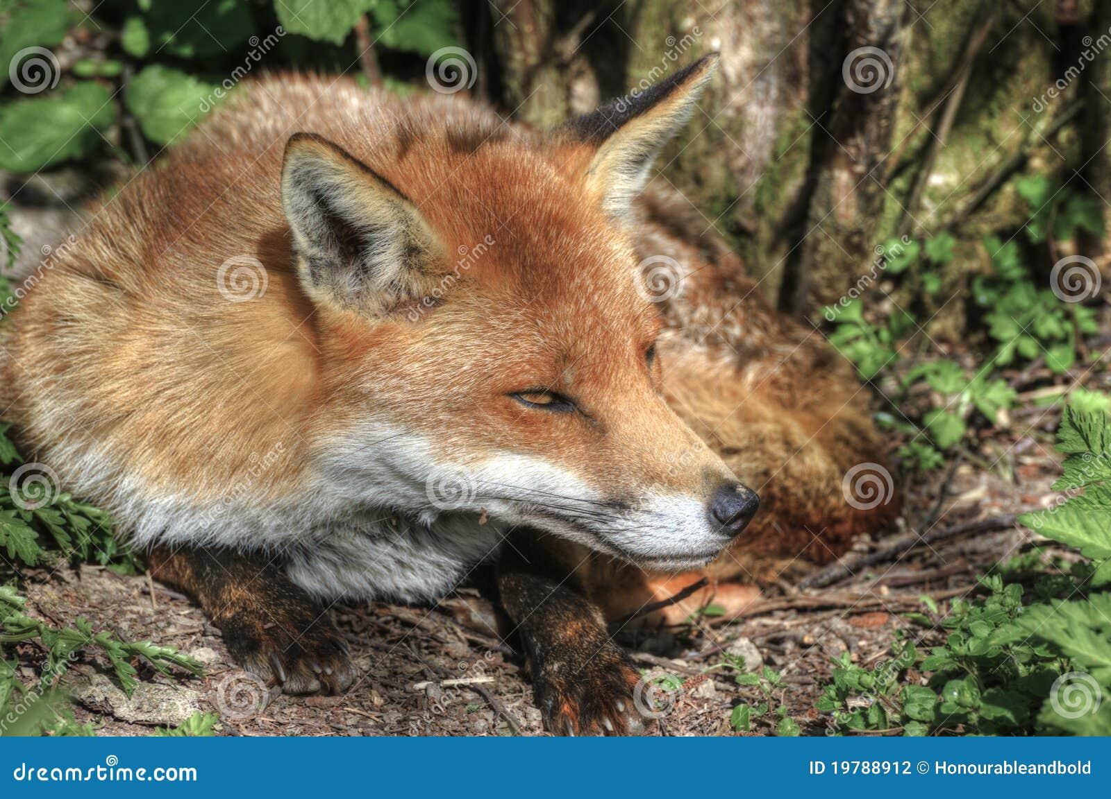 Naturligt rött superb övre för tät räv