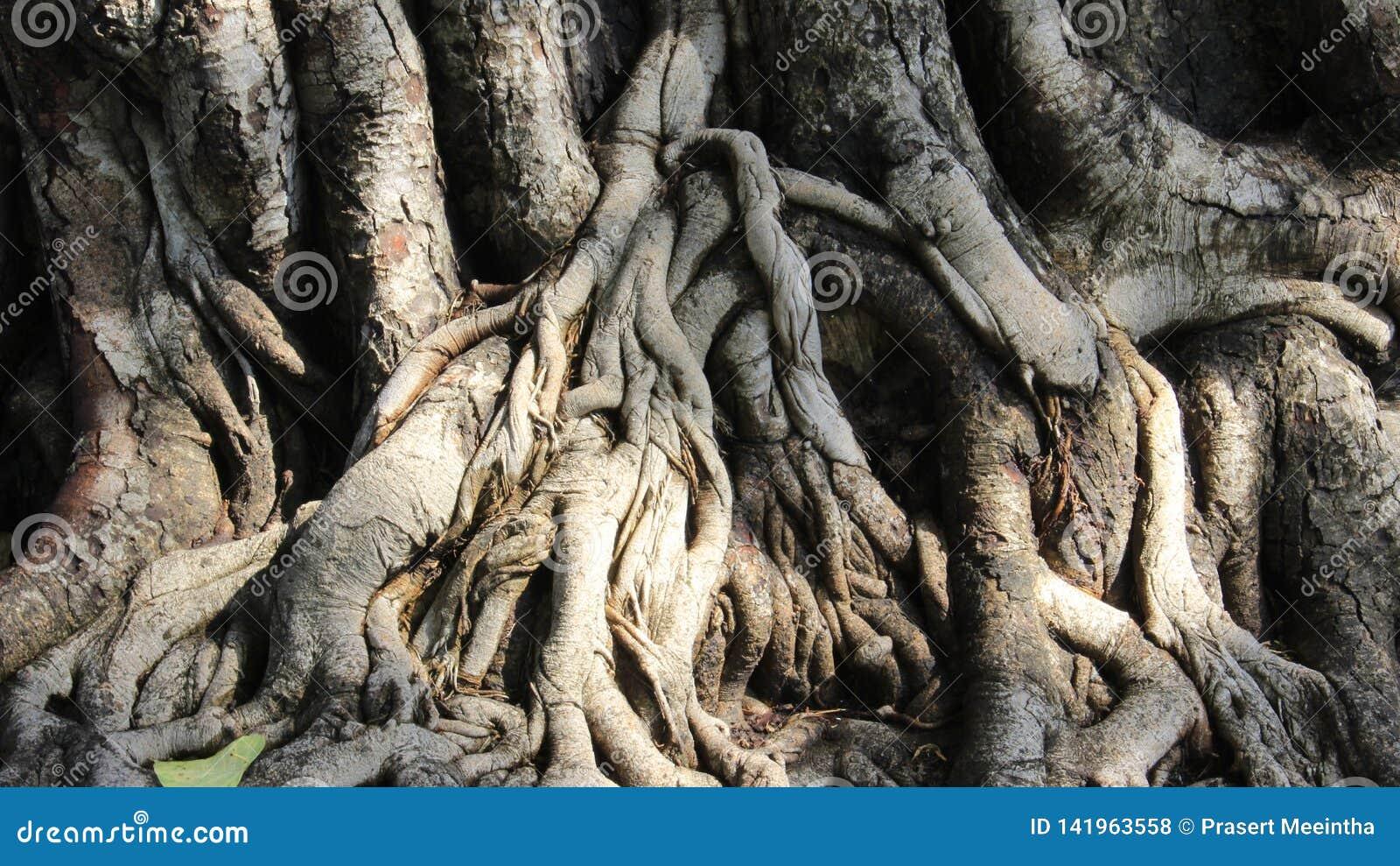 Naturligt Slut upp sakralt fikonträdskäll