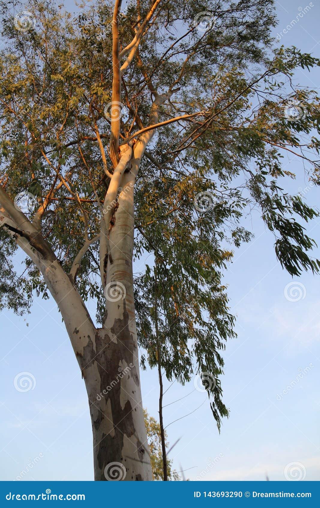 Natury lasowego drzewa białego bagażnika drzewny narastający oddolny słońce