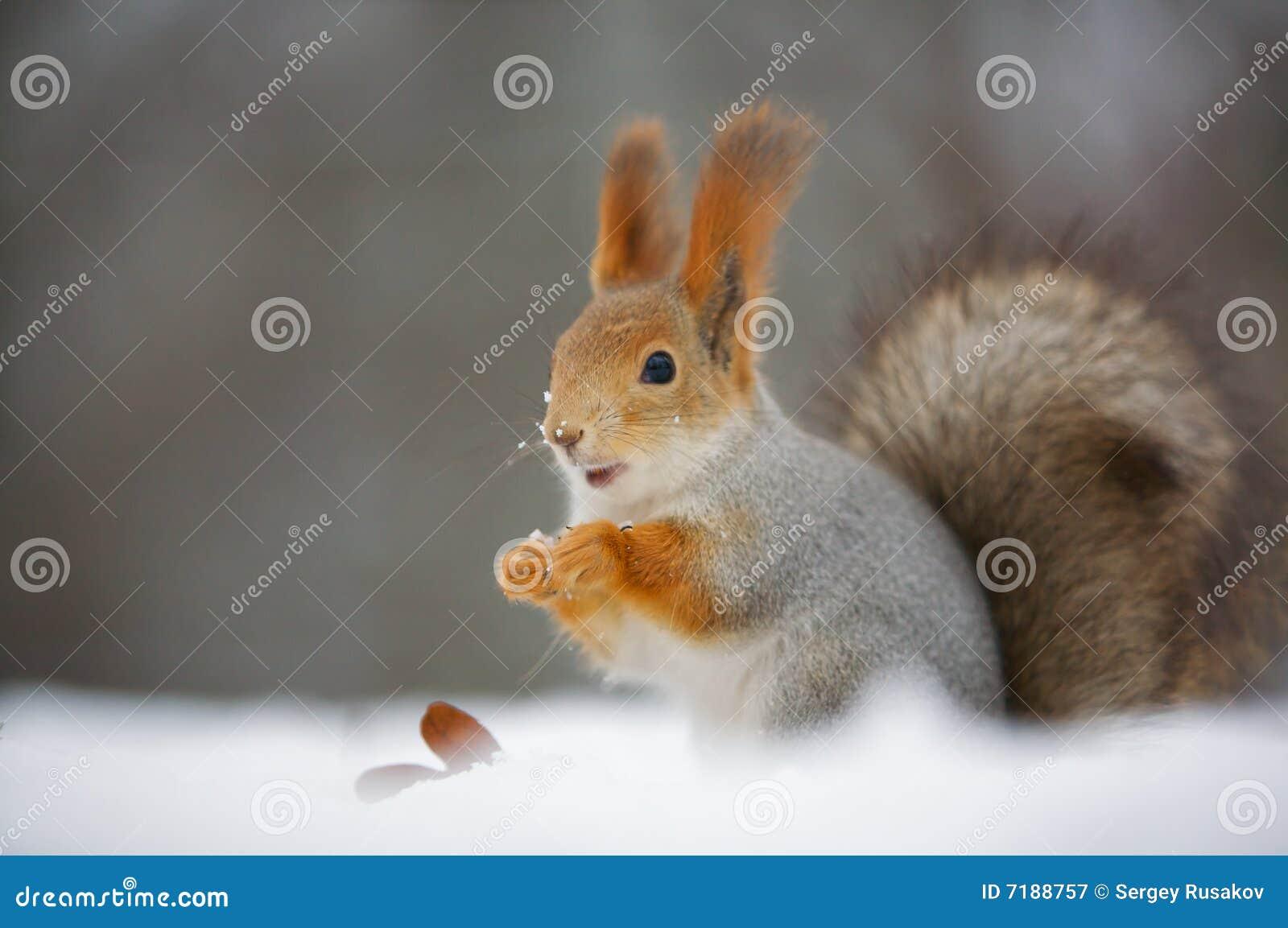 Natury wiewiórka