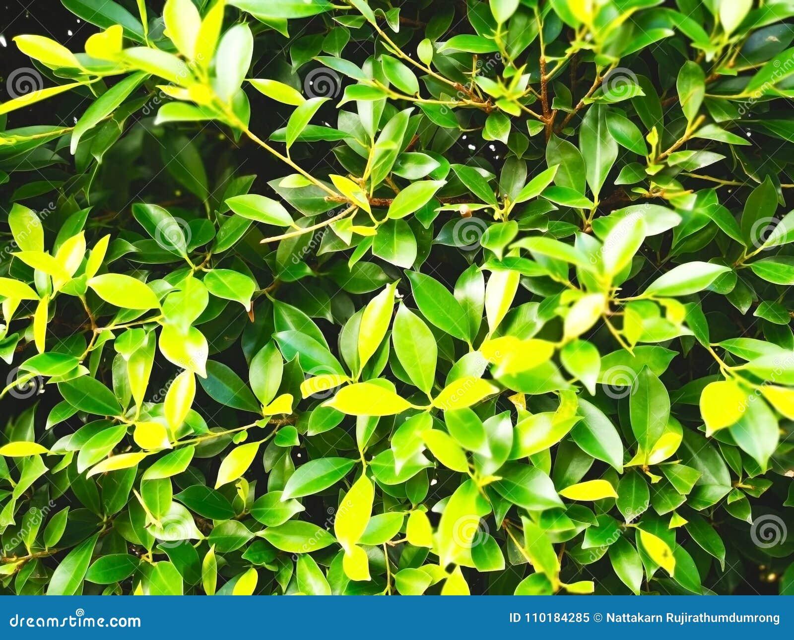 Natuurlijke achtergrondconcept De groene struikboom is in publi